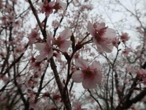 Cherry var. Tokai/ トウカイザクラ