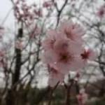 Cherry var. Tokai/ トウカイザクラ 花の姿