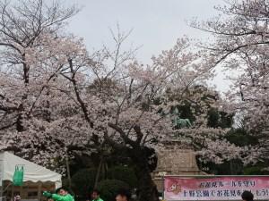 Cherry var. Komatsu-otome/ コマツオトメ 花の咲いている原木の全景