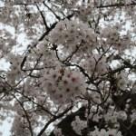 Cherry var. Someiyoshino/ ソメイヨシノ 花の様子 原木候補の木
