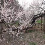 Japanese apricot/ ウメ 花の咲いている様子 品種 無類絞り