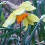 Long-cupped daffodil/ タイハイスイセン 花の姿