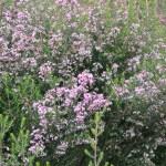 Channelled heath/ ジャノメエリカ 花の咲いている様子