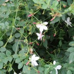 Common Jasmine/ ソケイ 花の咲いている様子