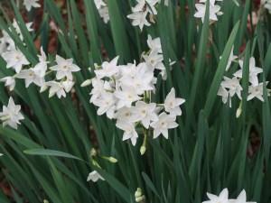Bunch-flowered Narcissus/ フサザキスイセン ペーパーホワイト系 花の咲いている様子