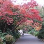 Maple/ カエデ 紅葉のカエデ