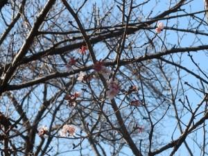 Cherry var. Fuyuzakura/ フユザクラ 花の咲いている様子
