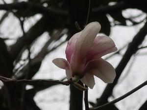 Saucer magnolia/ ソトベニハクモクレン (サラサモクレン) 花の姿