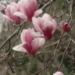 Saucer magnolia/ ソトベニハクモクレン