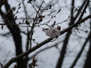Cherry var. Fuyuzakura/ フユザクラ 花の様子