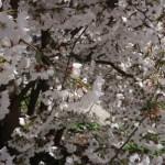 ソメイヨシノ又はその近縁種 花の咲いている様子