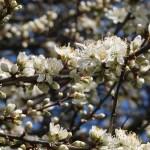 Blackthorn/ スピノサスモモ 花の様子