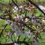 Cherry, October sakura ジュウガツザクラ 花の咲いている様子