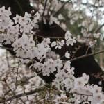 Cherry var. Someiyoshino/ ソメイヨシノ 花の様子