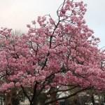 Cherry var.Youkou ヨウコウ 花の咲いている木の全景