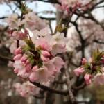 Cherry var. Kokeshimidzu/ コケシミズ 花の様子