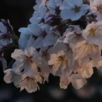 Cherry var. Someiyoshino/ ソメイヨシノ 夜桜の花の様子