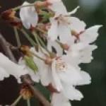 Cherry var. edohigan/ エドヒガン