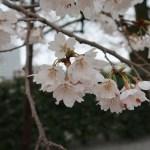 Cherry var. edohigan/ エドヒガン 花の様子