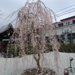 Cherry var. Shidare-sakura/ シダレザクラ 花の咲いている木の姿