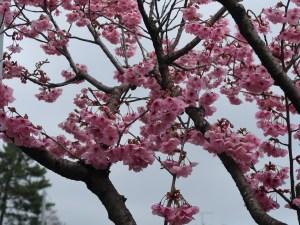 Cherry var.Youkou/ ヨウコウ 花の咲いている様子