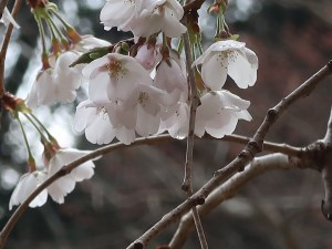 Cherry var. Shidare someiyoshino/ シダレソメイヨシノ