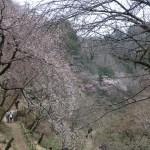 Cherry var. Shidare someiyoshino/ シダレソメイヨシノ 花の咲いている木の様子