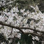 Cherry var. edohigan/ エドヒガン 花の咲いている様子