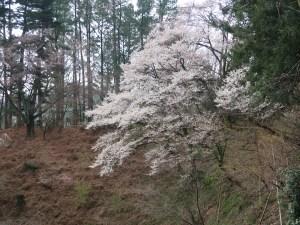 Cherry var. edohigan/ エドヒガン 花の咲いている山に生える木の全景