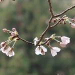 Cherry var. Someiyoshino/ ソメイヨシノ 咲き始めの花