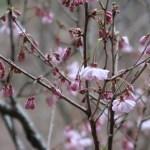 Cherry var. Yaebeni-higan/ ヤエベニヒガン 花の様子
