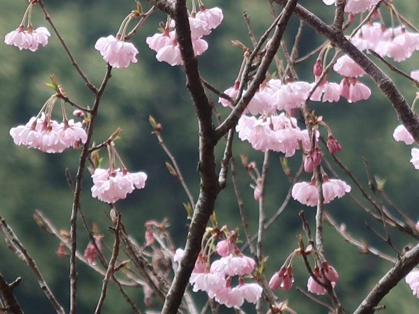 Cherry var. Yaebeni-higan/ ヤエベニヒガン