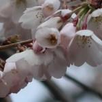 Cherry var. Shidare someiyoshino/ シダレソメイヨシノ 花の姿