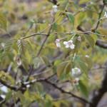 Clove cherry / チョウジザクラ 花の咲いている様子