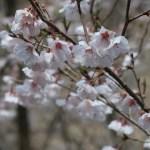Cherry var. Kochino higanzakura/ コシノヒガンザクラ 花の様子
