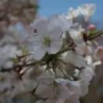 Cherry variety America/ アメリカ