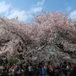 Cherry variety America/ アメリカ 花の咲いている木の全景