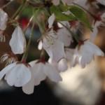 Cherry variety America/ アメリカ 花の姿