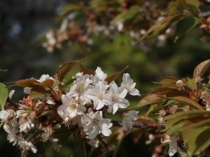 Cherry var. Yae sakon no sakura/ ヤエサコンノサクラ 花の様子