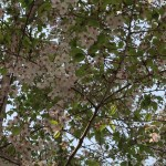 Cherry var. Izu yoshino/ イズヨシノ 花の咲いている様子