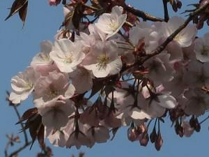 Cherry var. 'Arashiyama'/ アラシヤマ 花の姿