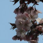 Cherry var. 'Arashiyama'/ アラシヤマ 花の様子