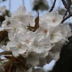 Cherry var. Taihaku/ タイハク 花の姿