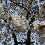 Cherry var. Taihaku/ タイハク 花の咲いている様子