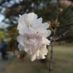 Cherry var. Kotohira コトヒラ 花の姿