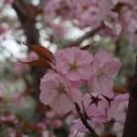 Cherry var. Chousiuhizakura/チョウシュウヒザクラ 花の様子