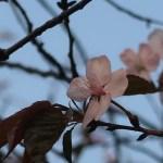 Sargent's cherry/ オオヤマザクラ 花の姿