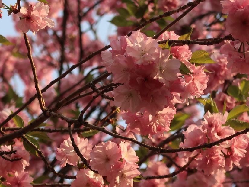 Cherry var. matsumae hayazaki/ マツマエハヤザキ 松前早咲
