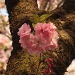 Cherry var. Beni-yutaka/ ベニユタカ 花の様子