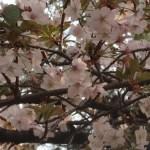 Cherry var. Bendono/ ベンドノ 花の咲いている様子